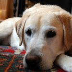 pet odor removal on rugs
